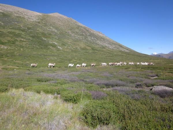 Джумалу, белые верблюды