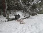 волки съели косулю