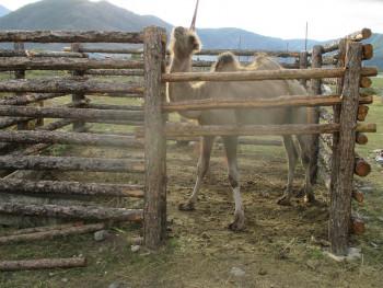 Верблюд в Акташе